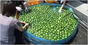 【第4回 八代商工会議所(熊本県)】晩白柚アロマと湯治文化を活用したやつしろ式農商工連携プロジェクト(平成22年度)