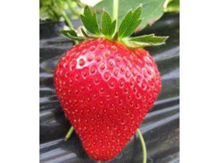 イチゴのパック詰め収穫体験