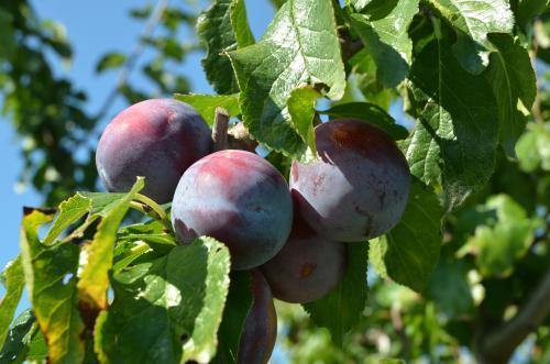 奇跡の果実プルーン