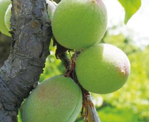 後志(しりべし)の未利用果実を活用した新製品・新商品開発プロジェクト