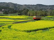 菜の花畑を走る小湊鉄道
