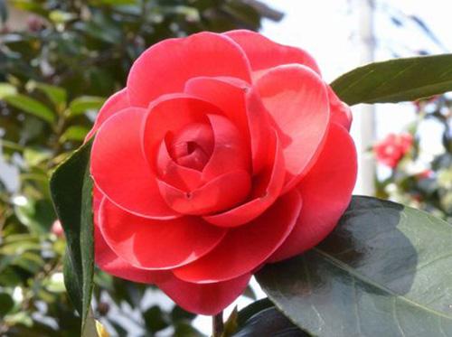 加茂市の花である雪椿